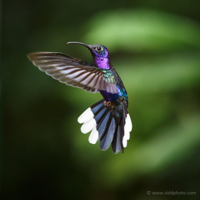 Hummingbirds of Monte Verde